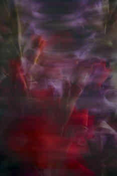 Gladiolen_1169